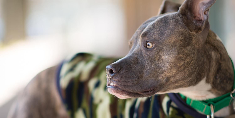 Breed-Specific Legislation – Love-A-Bull