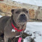 Adopt-A-Bull Norma